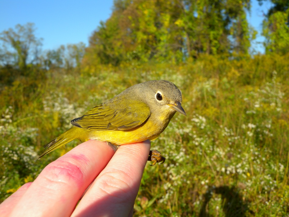 Female Nashville warbler.  Photo by Blake Goll.