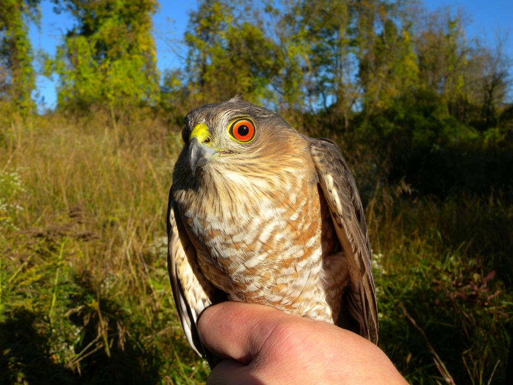 Adult female Sharp-shinned Hawk.  Photo by Blake Goll.