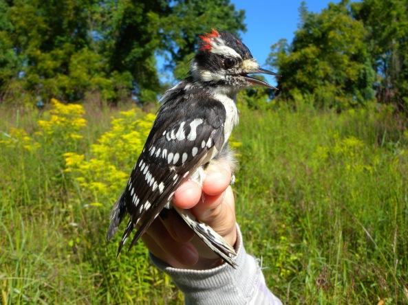 Downy Woodpecker Nest Downy Woodpecker Birdhouse