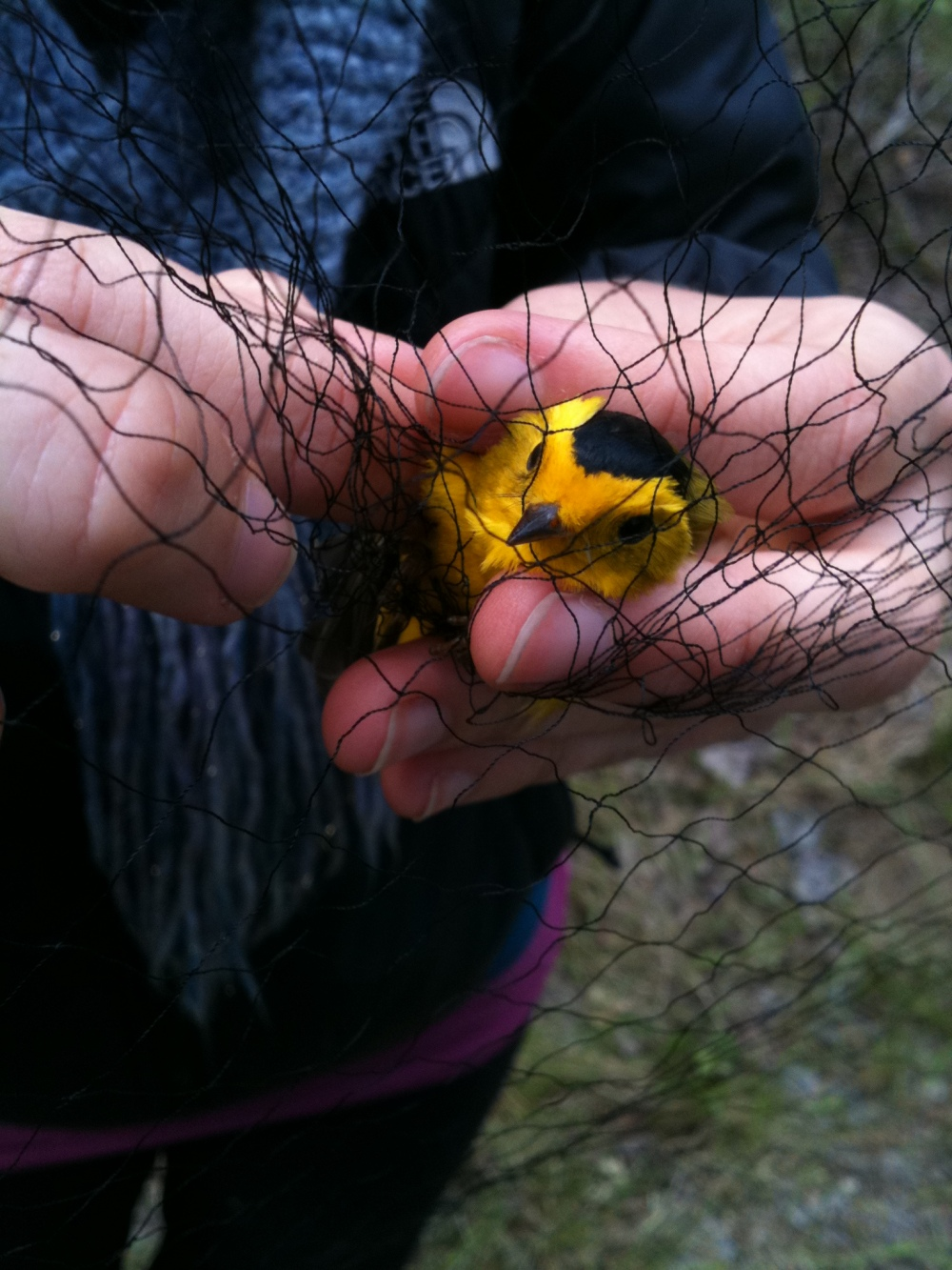 Wilson's Warbler being extracted from net.  Photo by Blake Goll (taken in Oregon).  We banded a Wilson's Warbler at Rushton 2 weeks ago.