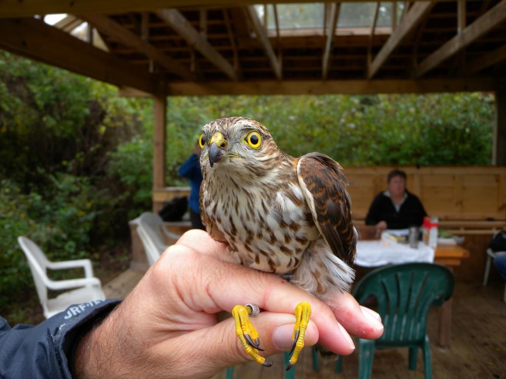 Juvenile Sharp-shinned Hawk.  Photo by Blake Goll.