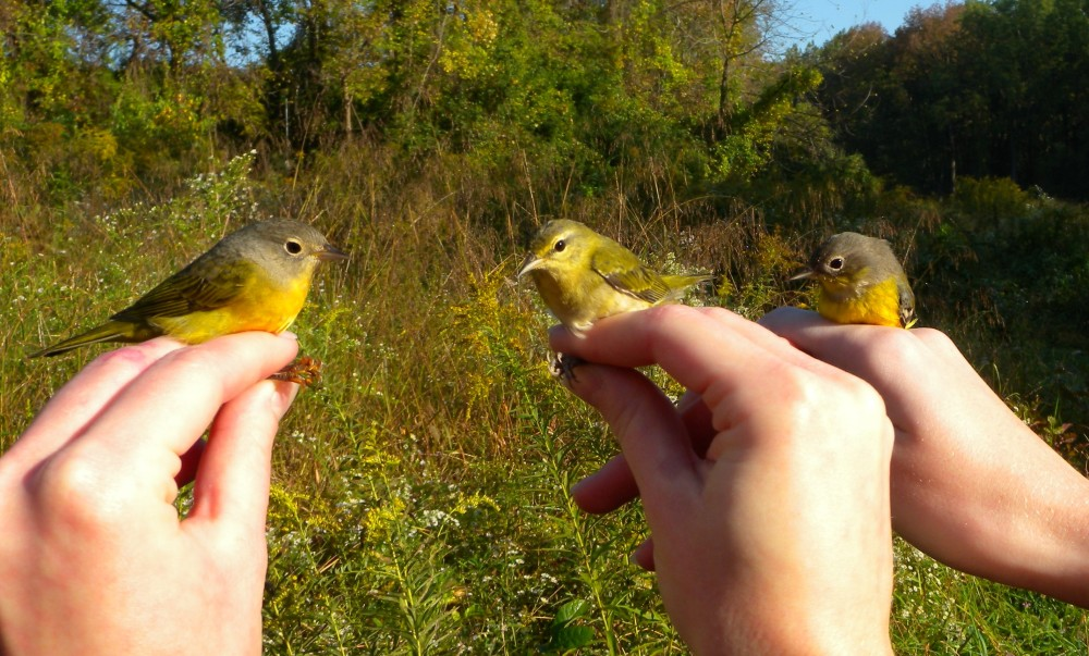 Left to right (Nashville, Tennessee, and Magnolia warblers).  Photo by Ed Goll.