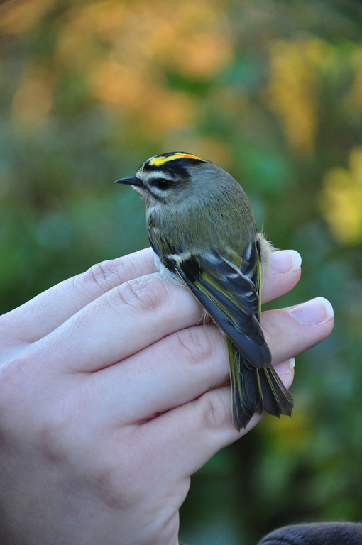 Male Golden-crowned Kinglet. Photo by Justin Thompson.