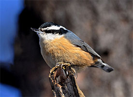 """Red-breasted Nuthatch from Cornell Lab of Ornithology """"All about Birds"""" website."""