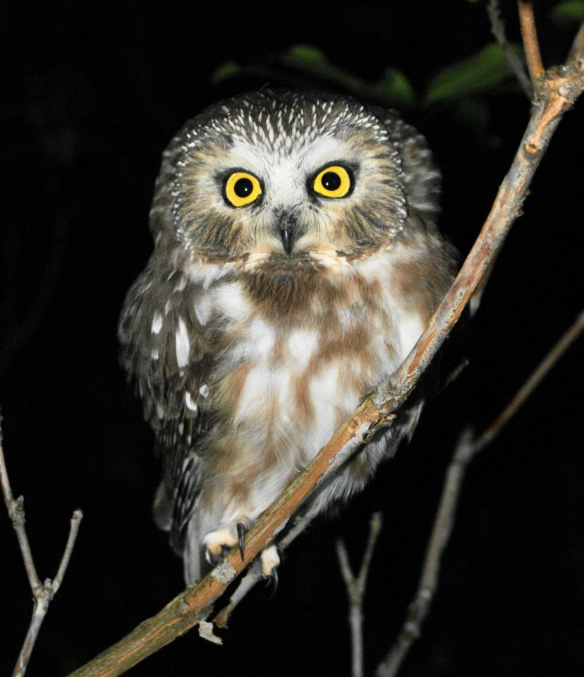 Saw-whet Owl on branch.  Photo  by John Fedak.