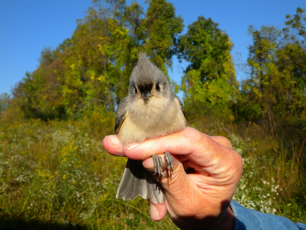 Tufted titmouse.  Photo by Blake Goll.