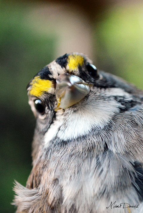 White-throated Sparrow.  Photo by Mimi Davis.