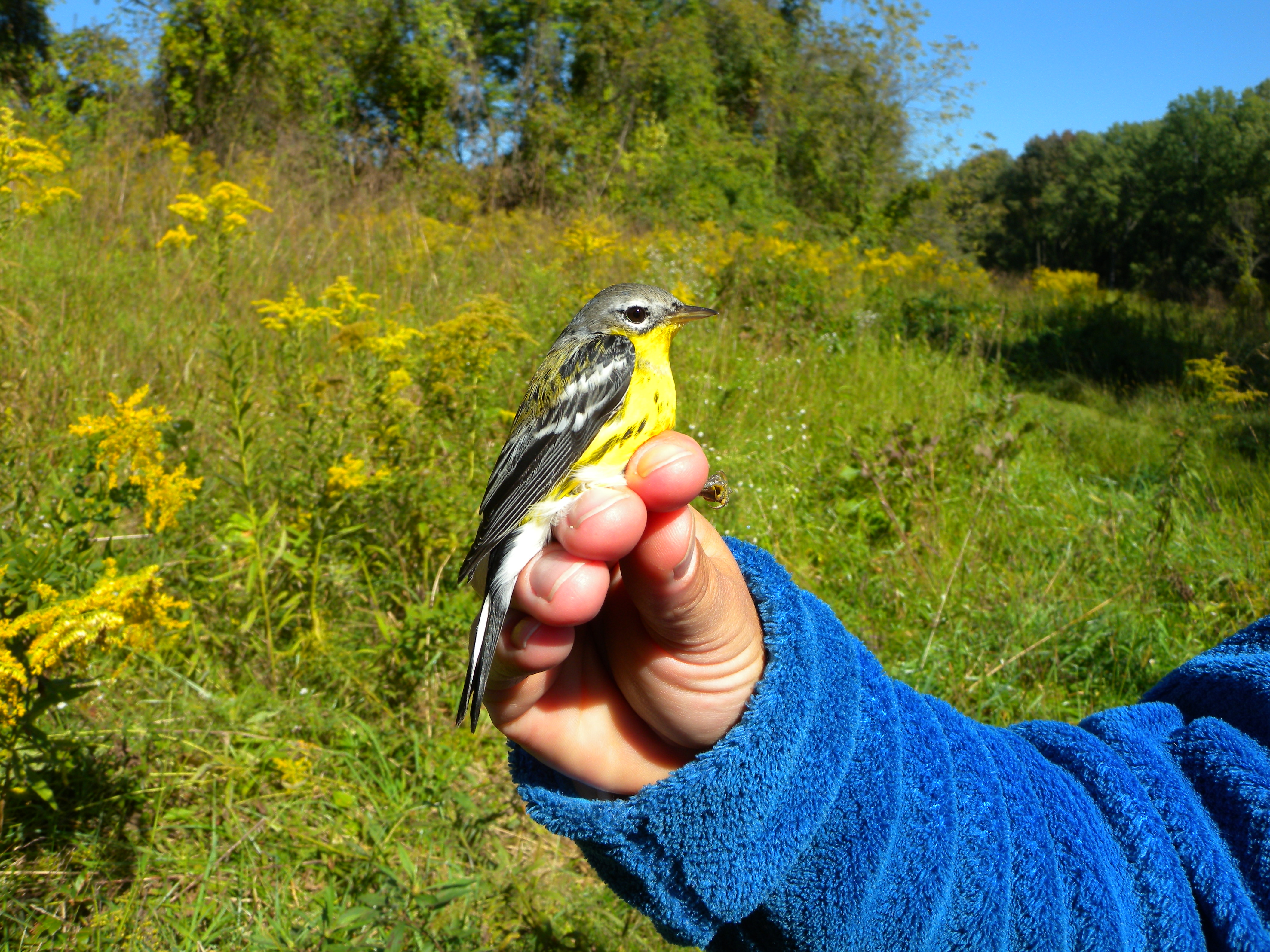 Wildflowers are often part of Early Successional Scrub Habitat (ESSH).  Here is a banded Magnolia Warbler at  Rushton Woods Preserve's ESSH.