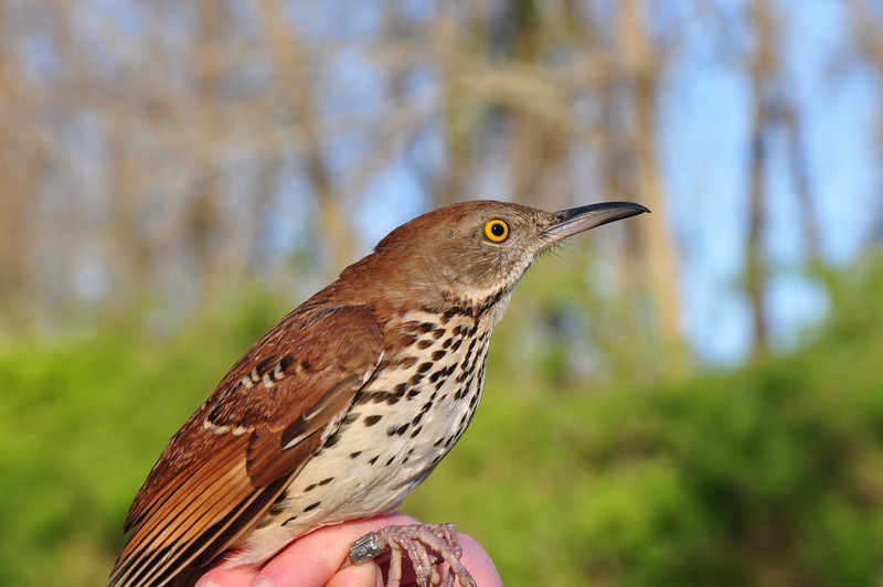 Brown Thrasher, a species that depends on Early Successional Scrub Habitat for nesting.
