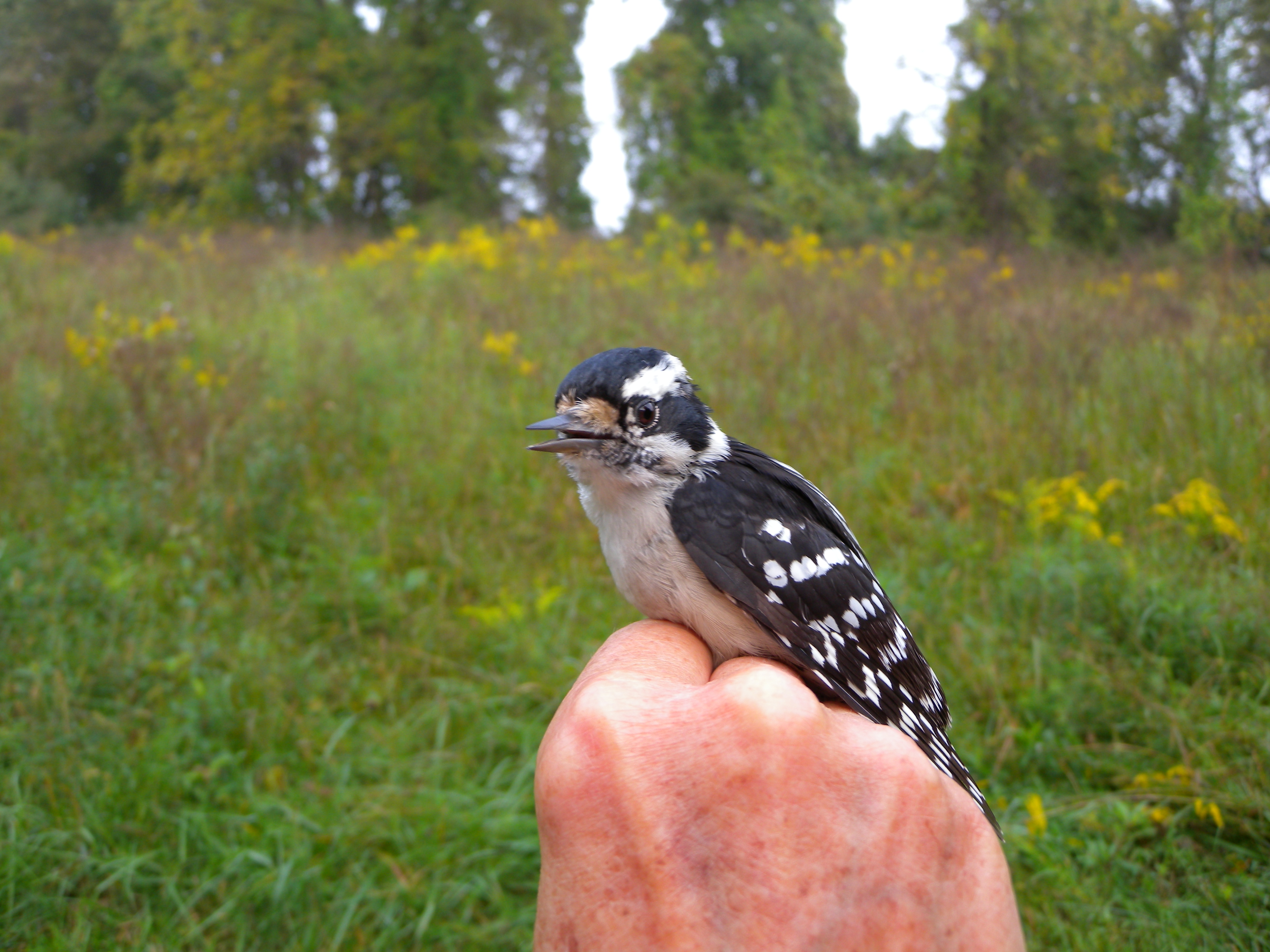 Young Downy Woodpecker in Rushton's Early Successional Scrub habitat in fall.