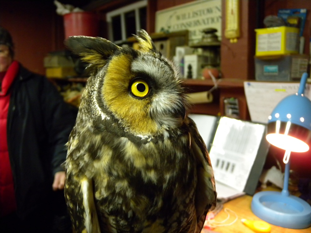 Long-eared Owl.  Photo by Blake Goll.