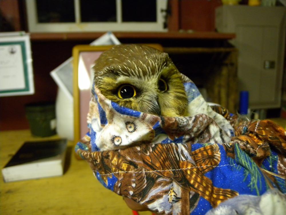 """Cozy"" Saw-whet Owl.  Photo by Blake Goll."