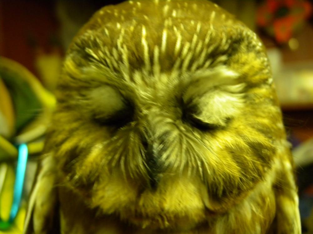 Zzzzzzzzzzzzz.......  Blinking Saw-whet Owl.
