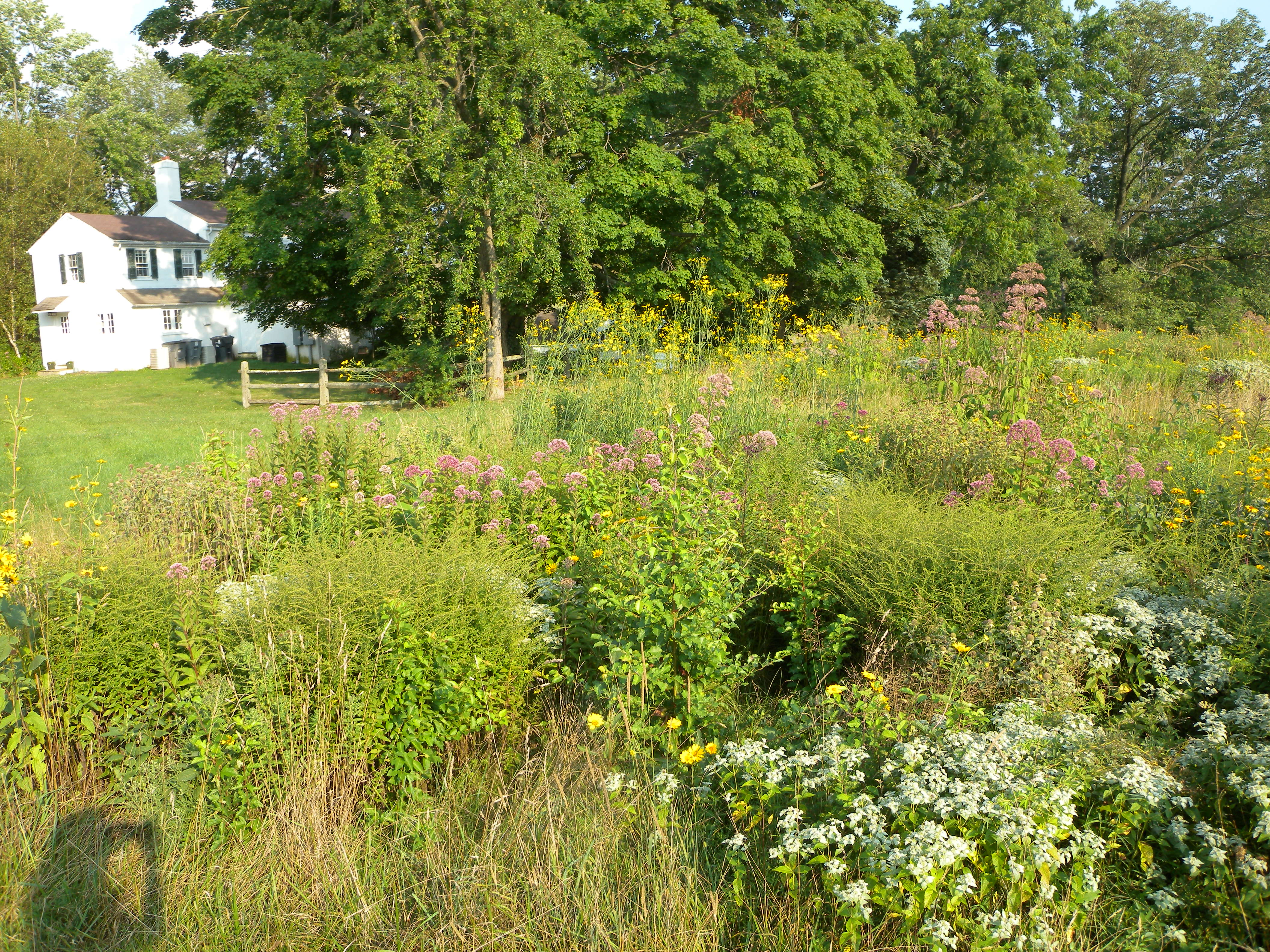 """The """"yard"""" at the Willistown Conservation Trust's office property has been partly converted to unmowed wildflower meadows, an example of sharing your property with wildlife."""
