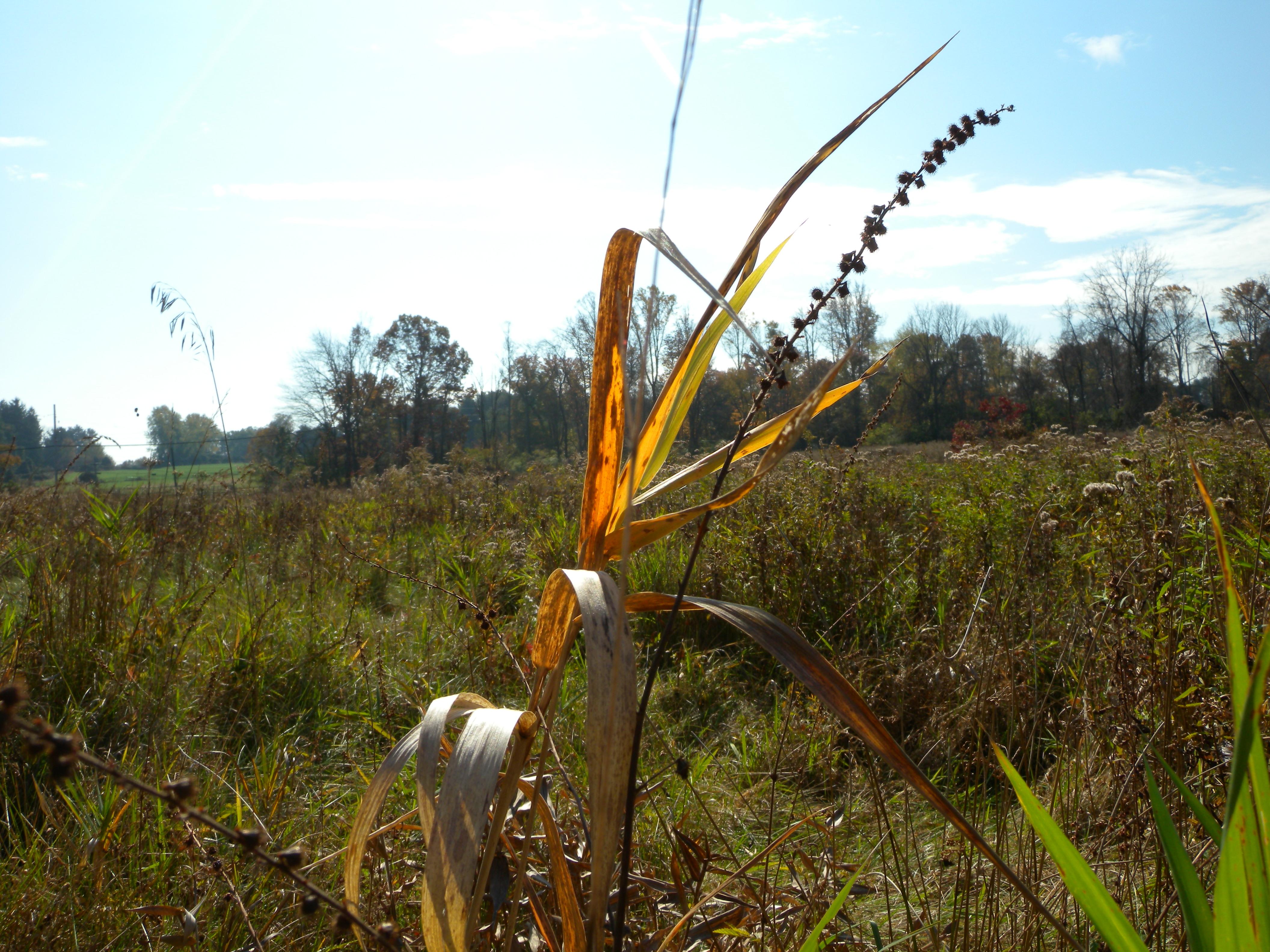 Early Successional Scrub Habitats often include beautiful wild grasses.