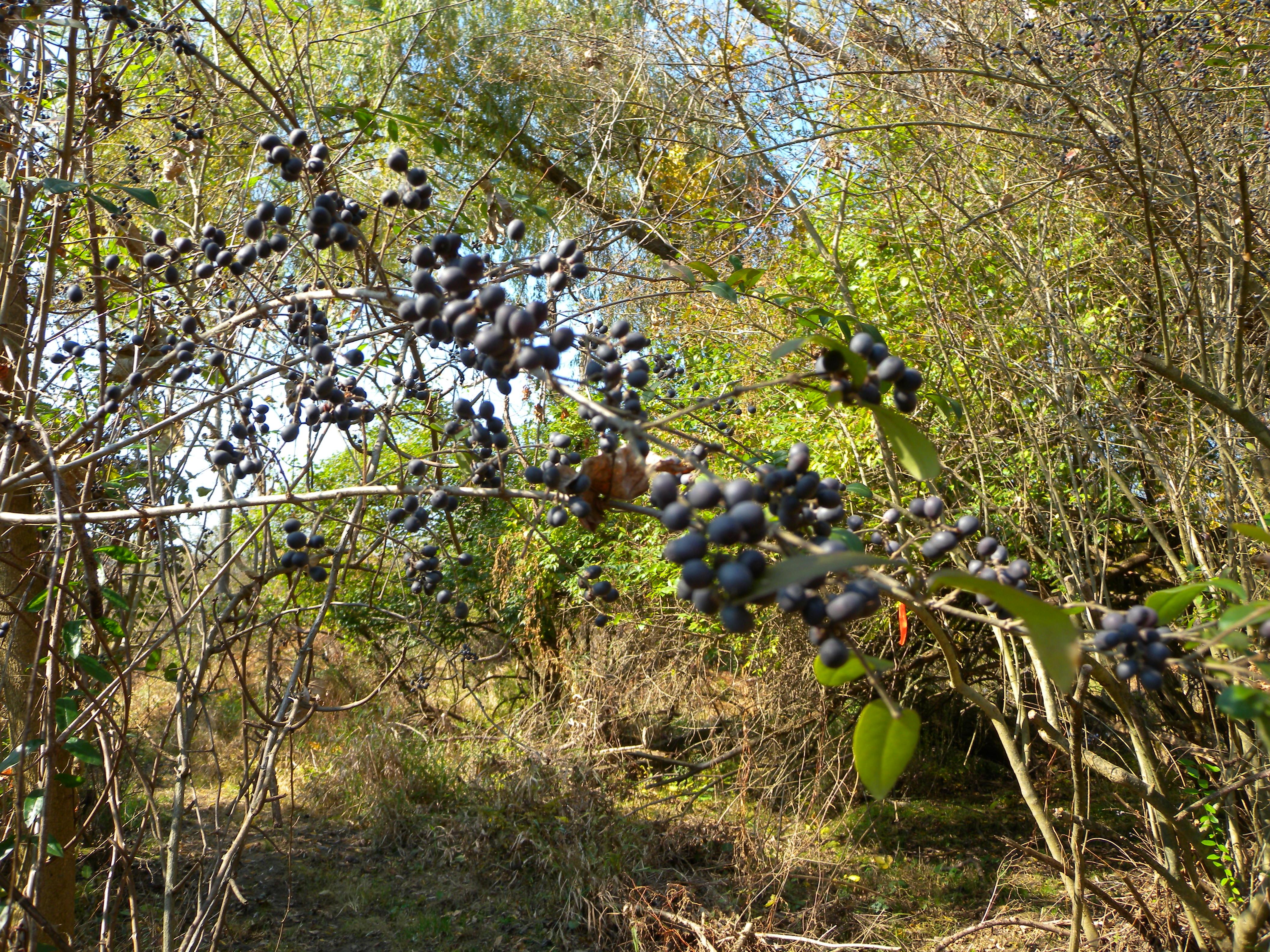 Berries galore in Early Successional Scrub Habitat.