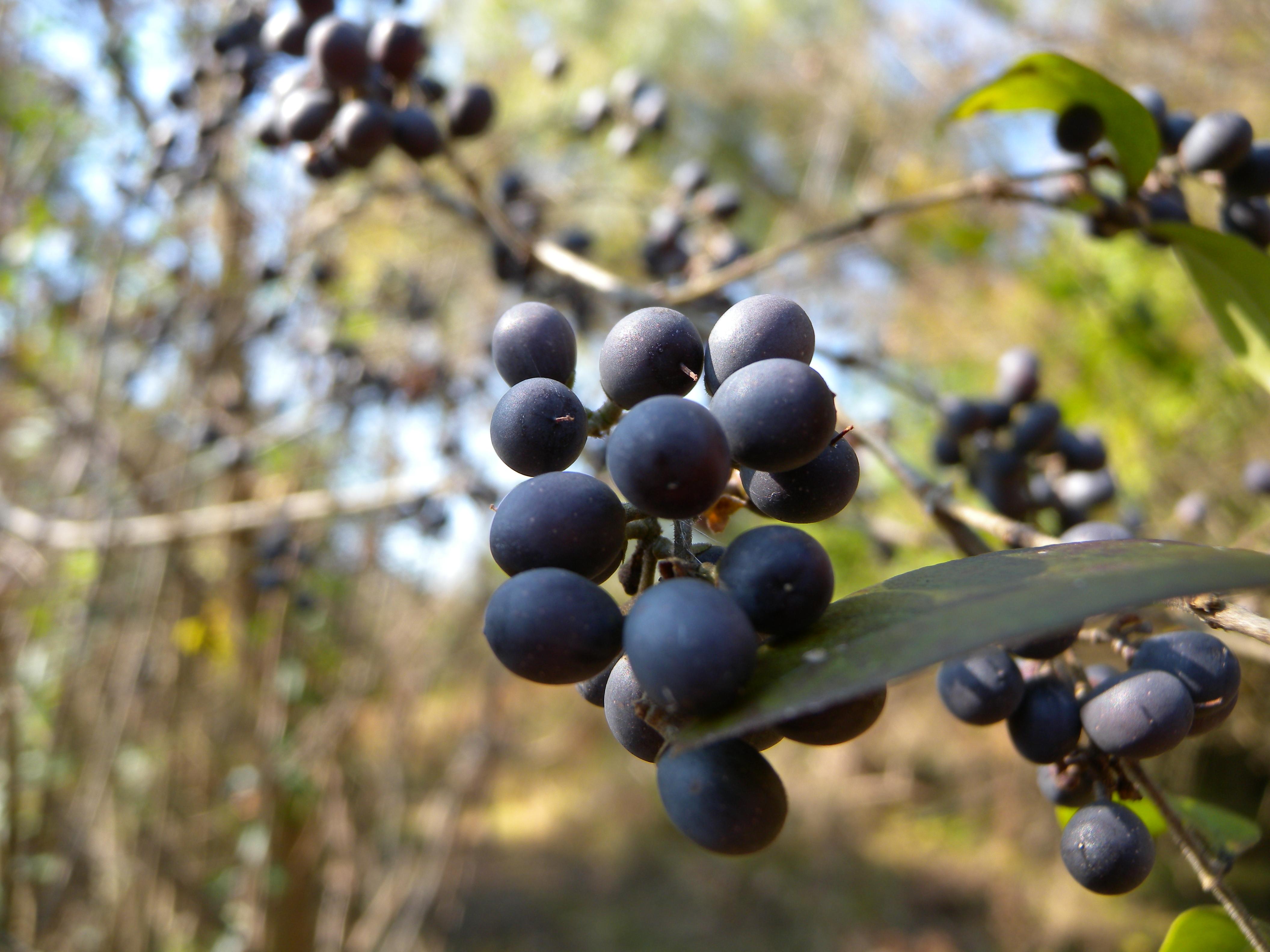 Privet berries in Early Successional Scrub Habitat.