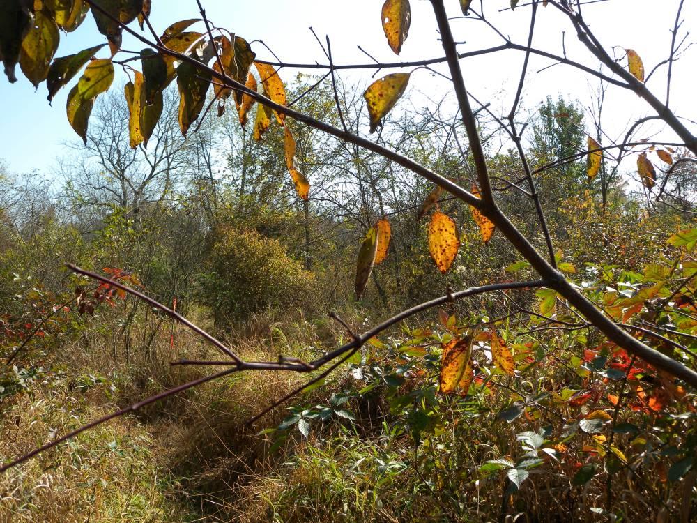 Early Successional Scrub Habitat at Ashbridge Preserve