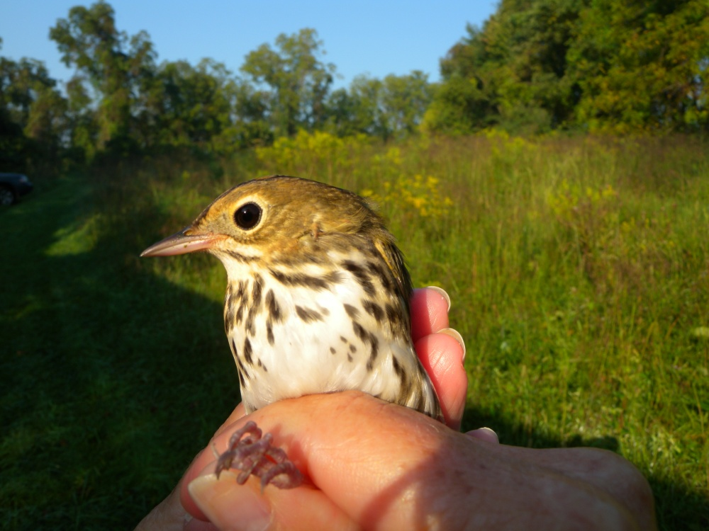 Young Ovenbird in the fall in Rushton's Early Successional Scrub habitat.