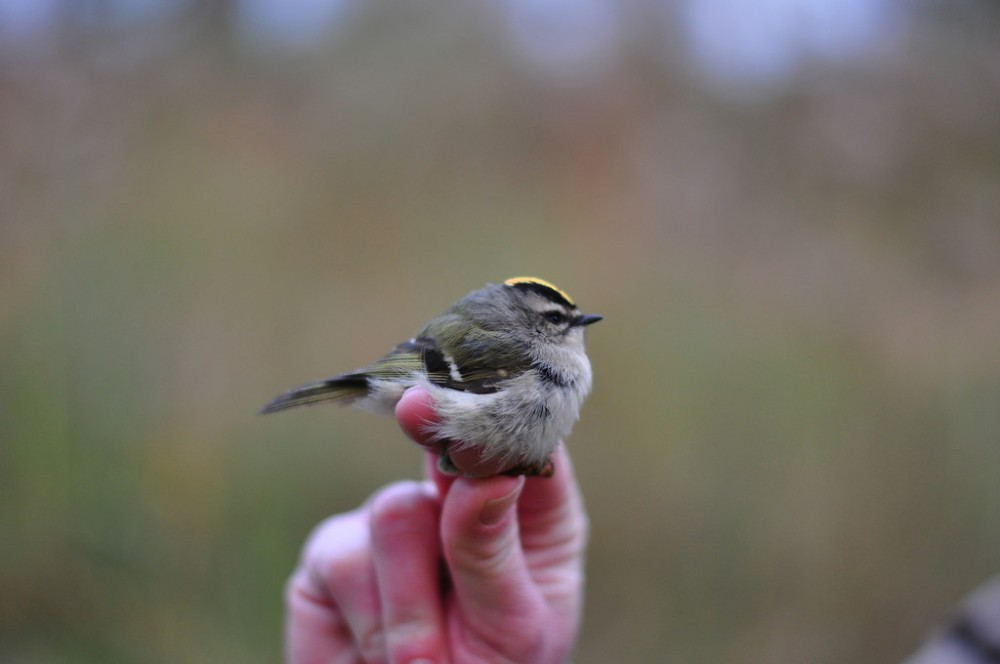 Golden-crowned Kinglet,  Photo by Justin Thompson.