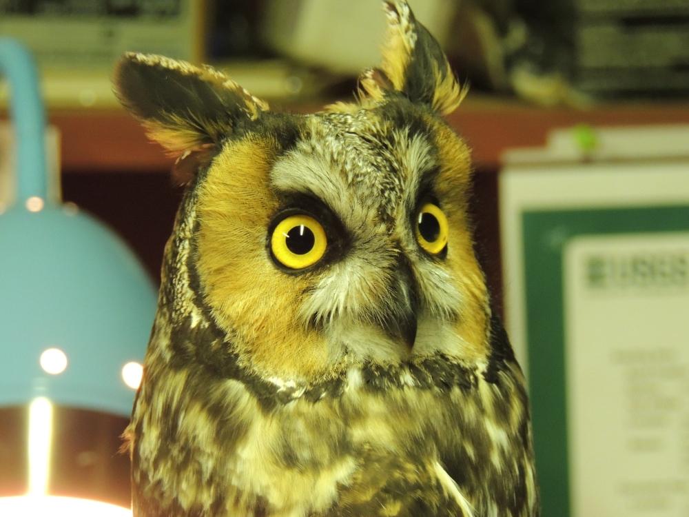 Long-eared Owl. Photo by Art McMorris