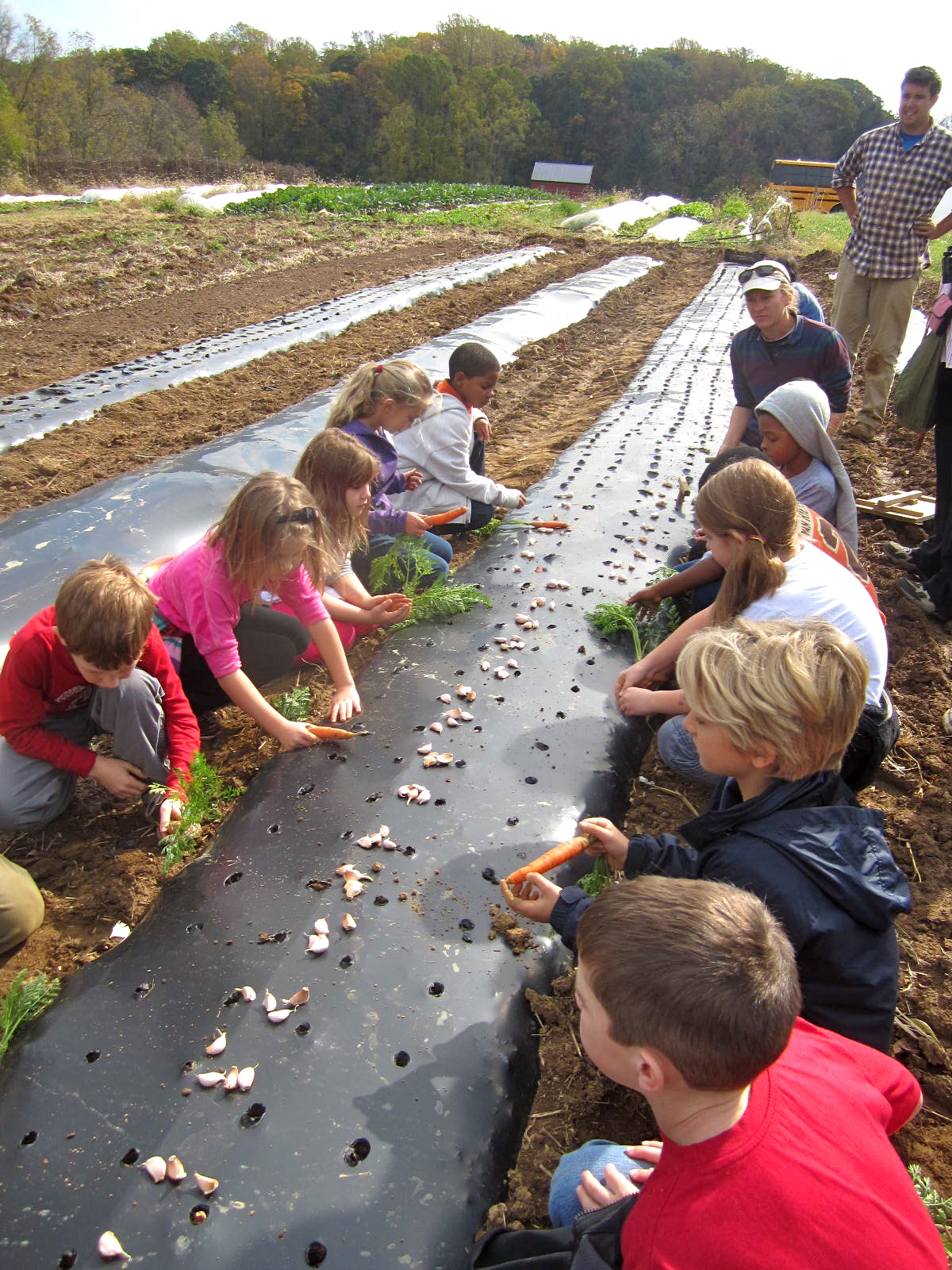 Abington Friends students planting garlic and picking carrots for lunch!