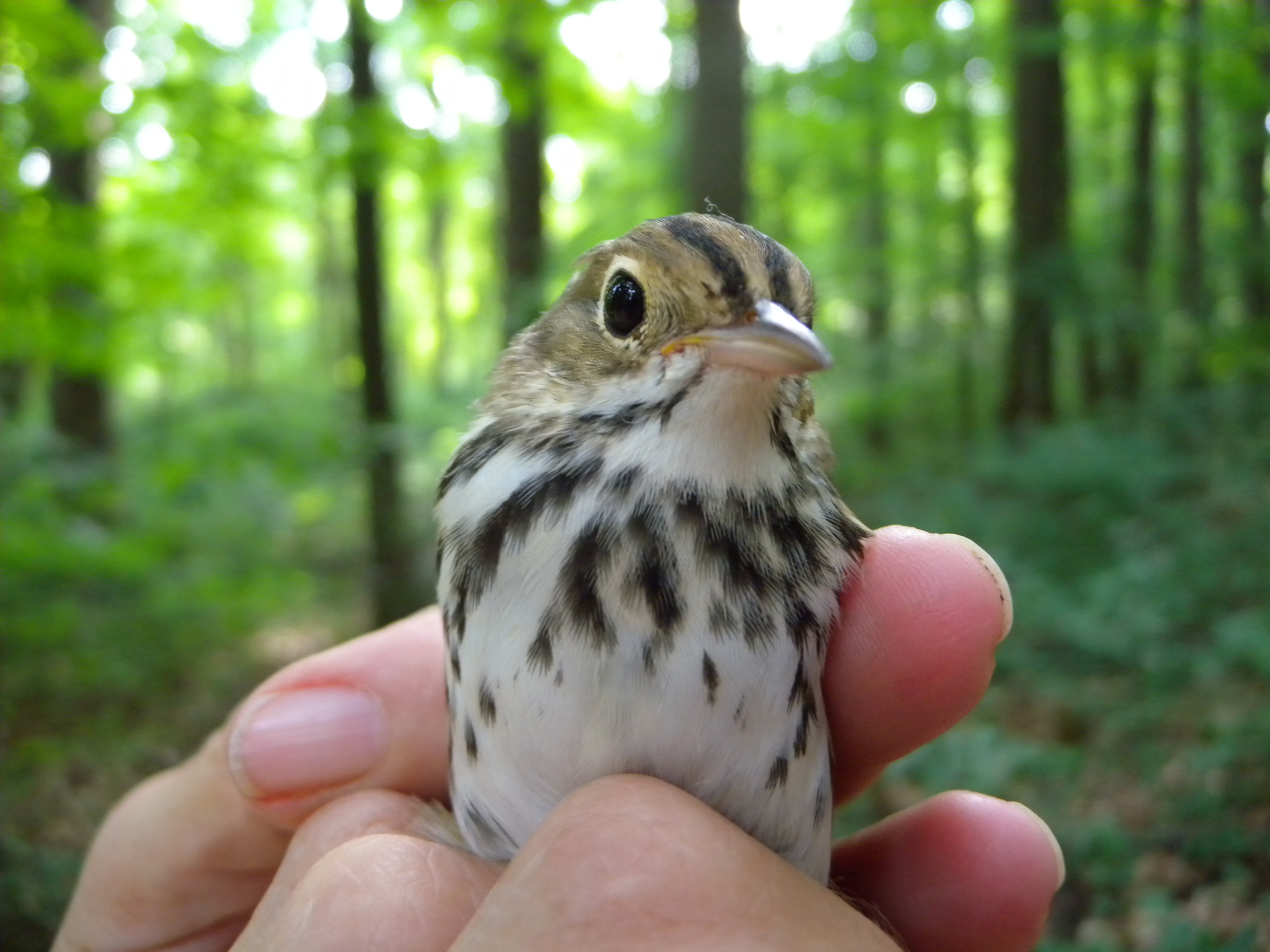 Juvenile Ovenbird in Rushton Woods. Photo by Blake Goll.