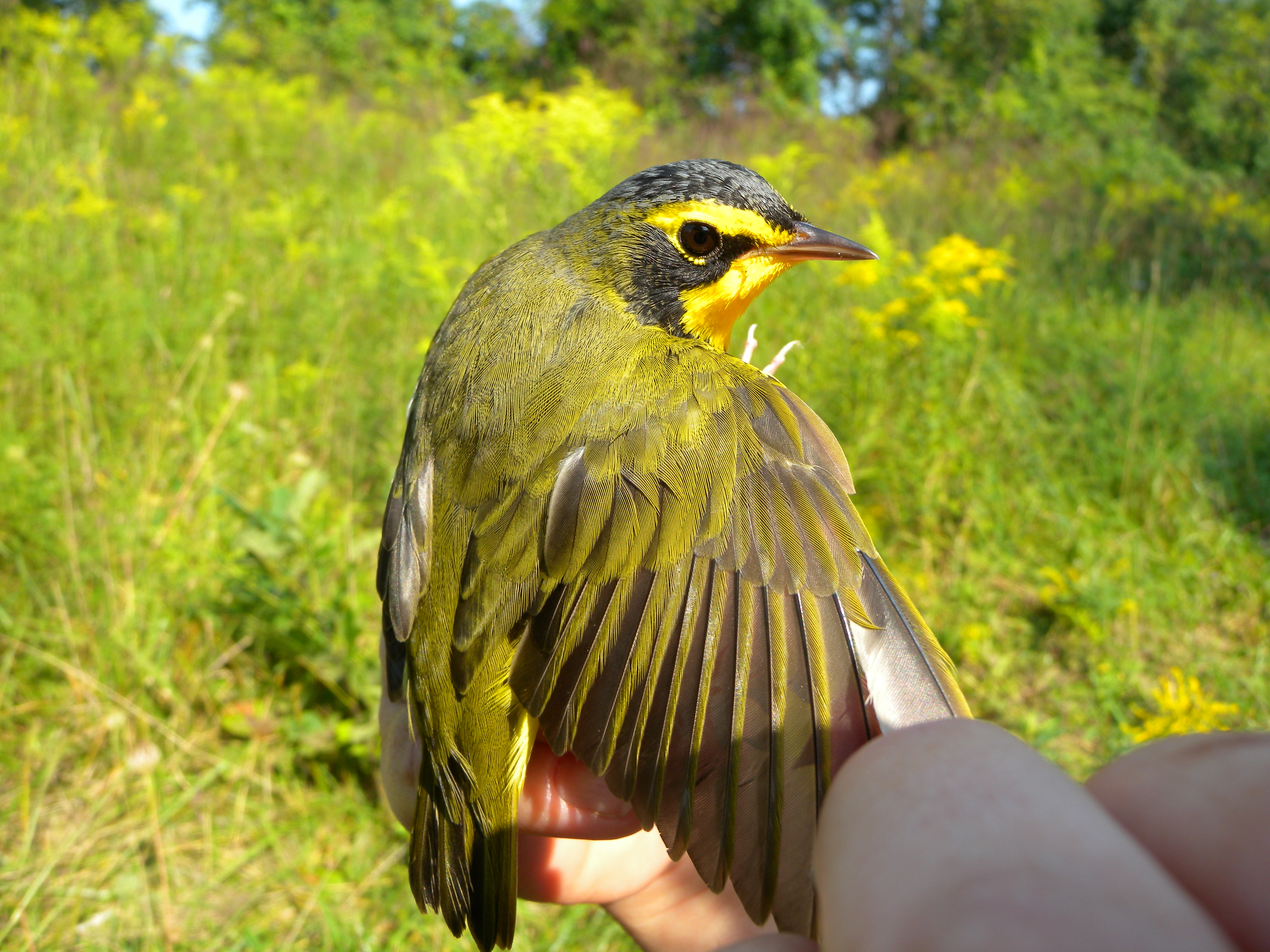 Male Kentucky Warbler using Rushton's Early Successional Scrub Habitat in the fall after first being banded in the woods during the summer.
