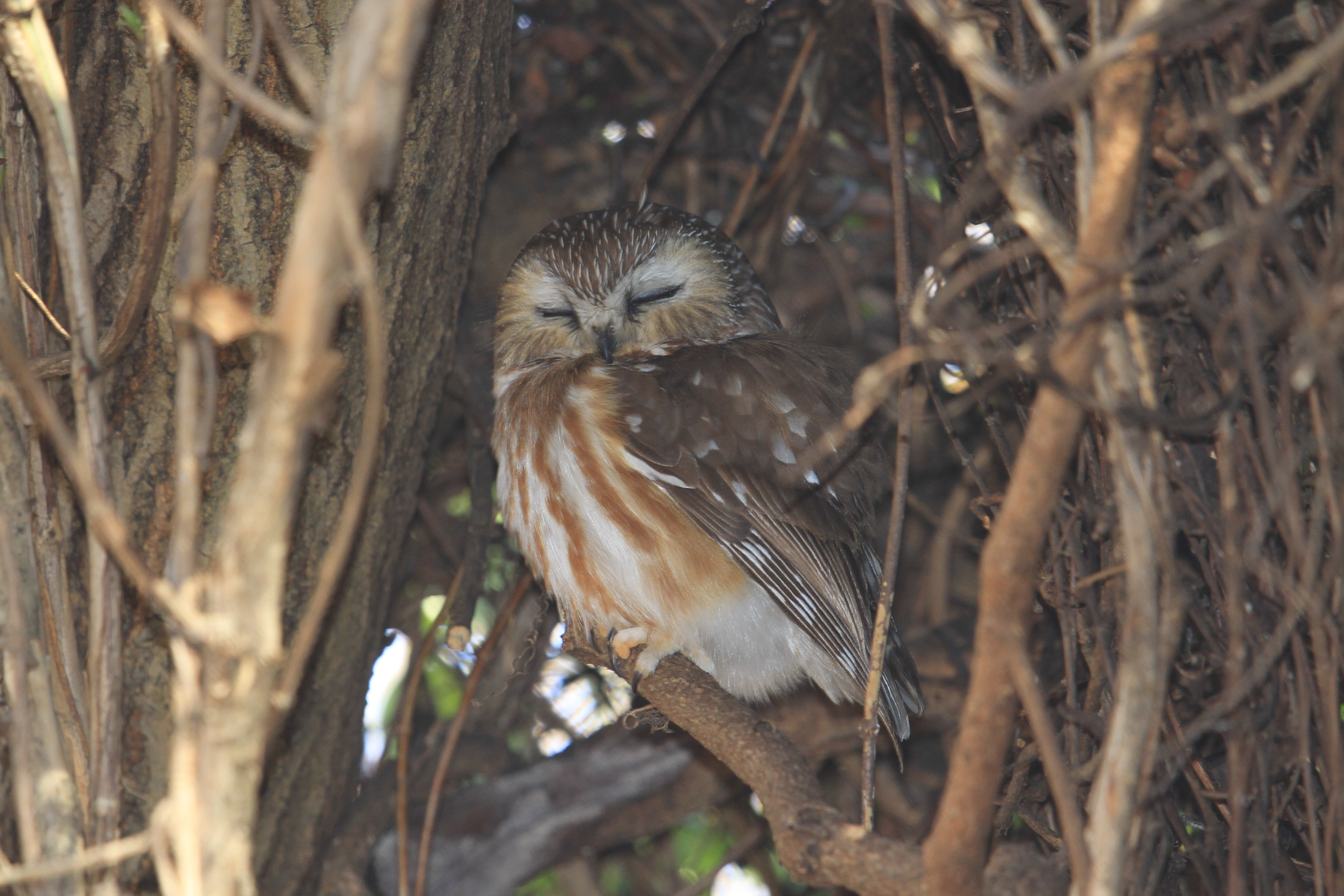 Northern Saw-whet Owl roosting in shrub.  Photo by Adrian Binns.