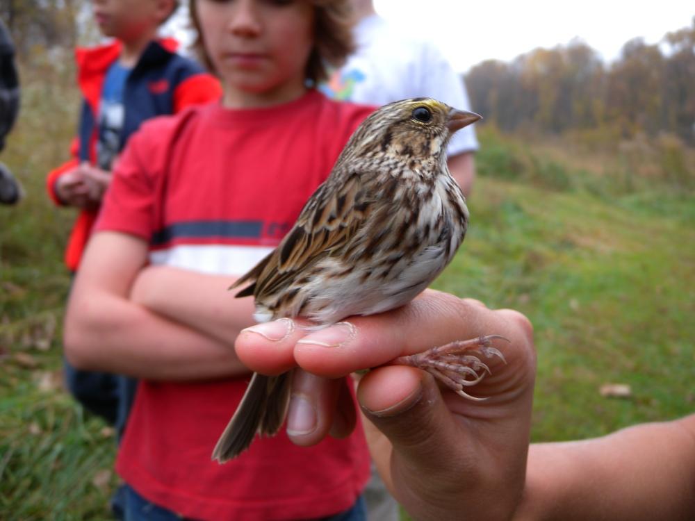Savannah Sparrow.  Photo by Blake Goll.