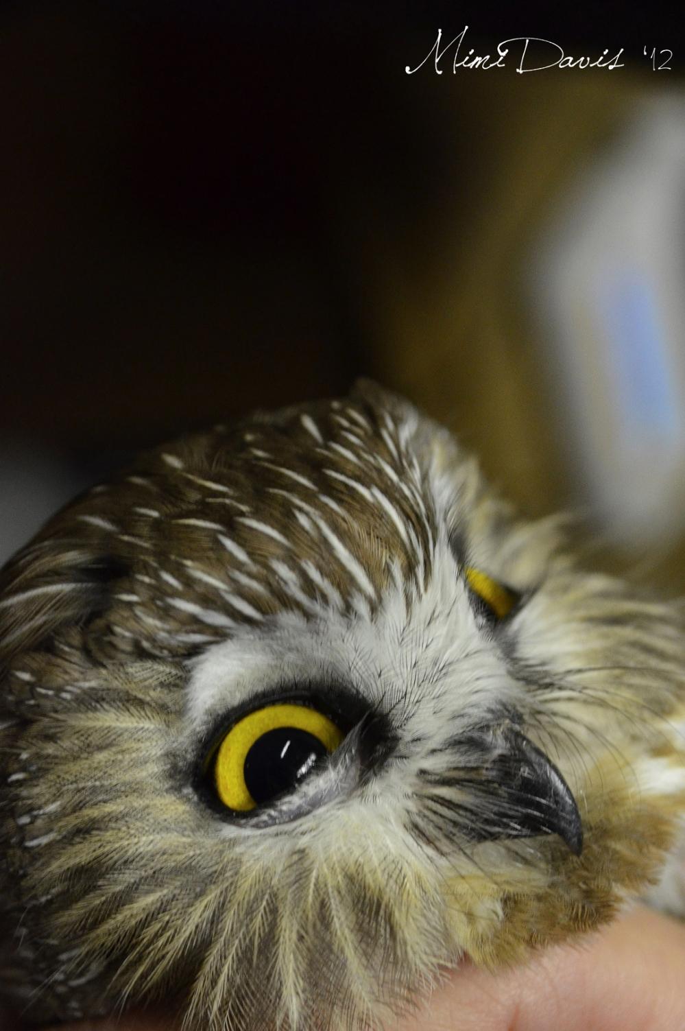 Northern Saw-whet Owl.  Photo by Mimi Davis.
