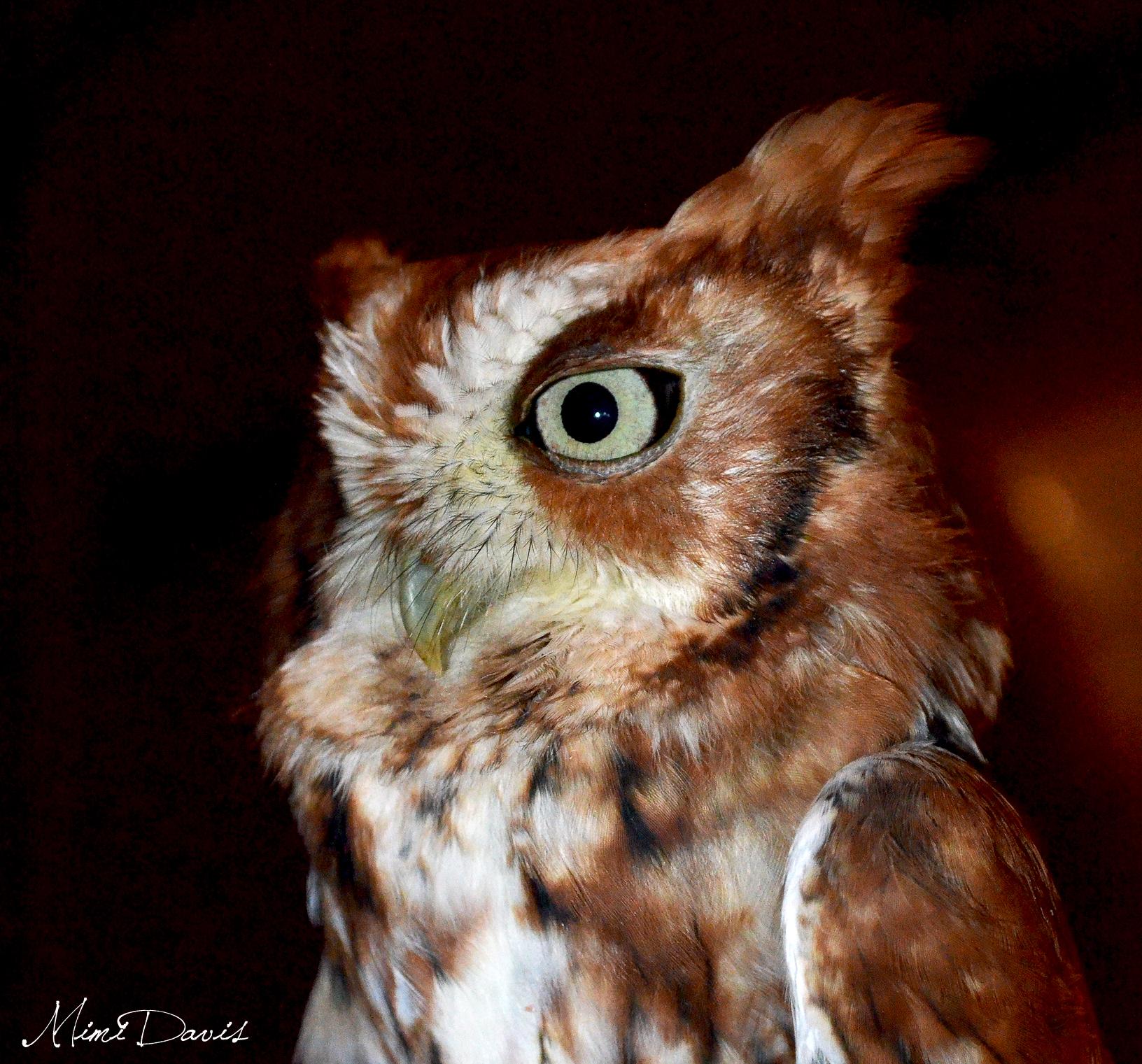 Eastern Screech Owl.  Photo by Mimi Davis.