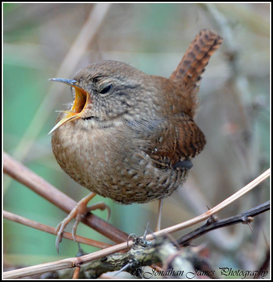 Yawning Winter Wren.  Photo by Jon Mularczyk.