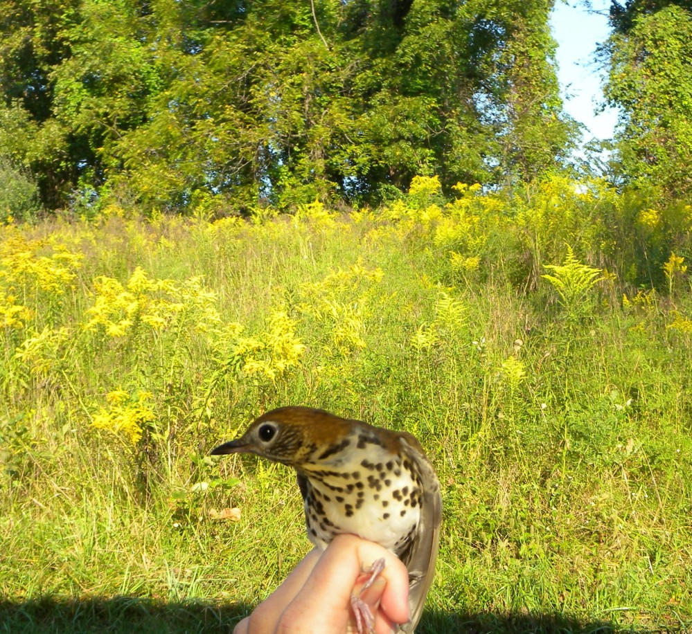 Young Wood Thrush in Rushtons Early Successional Habitat in fall.