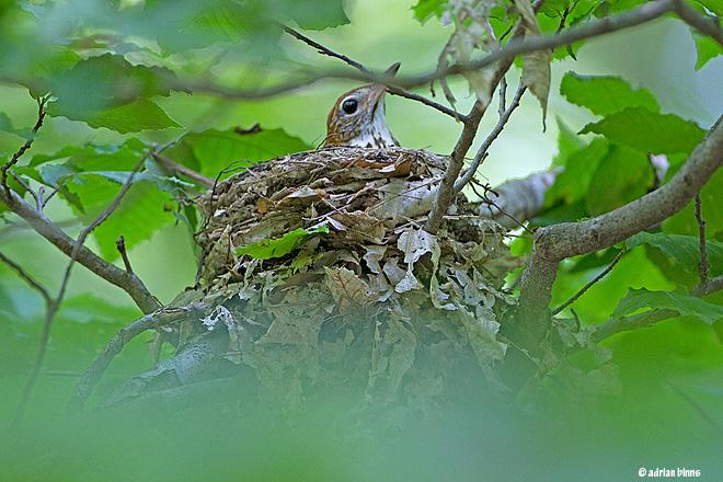 Wood Thrush on nest in Rushton Woods in summer.  Photo by Adrian Binns.