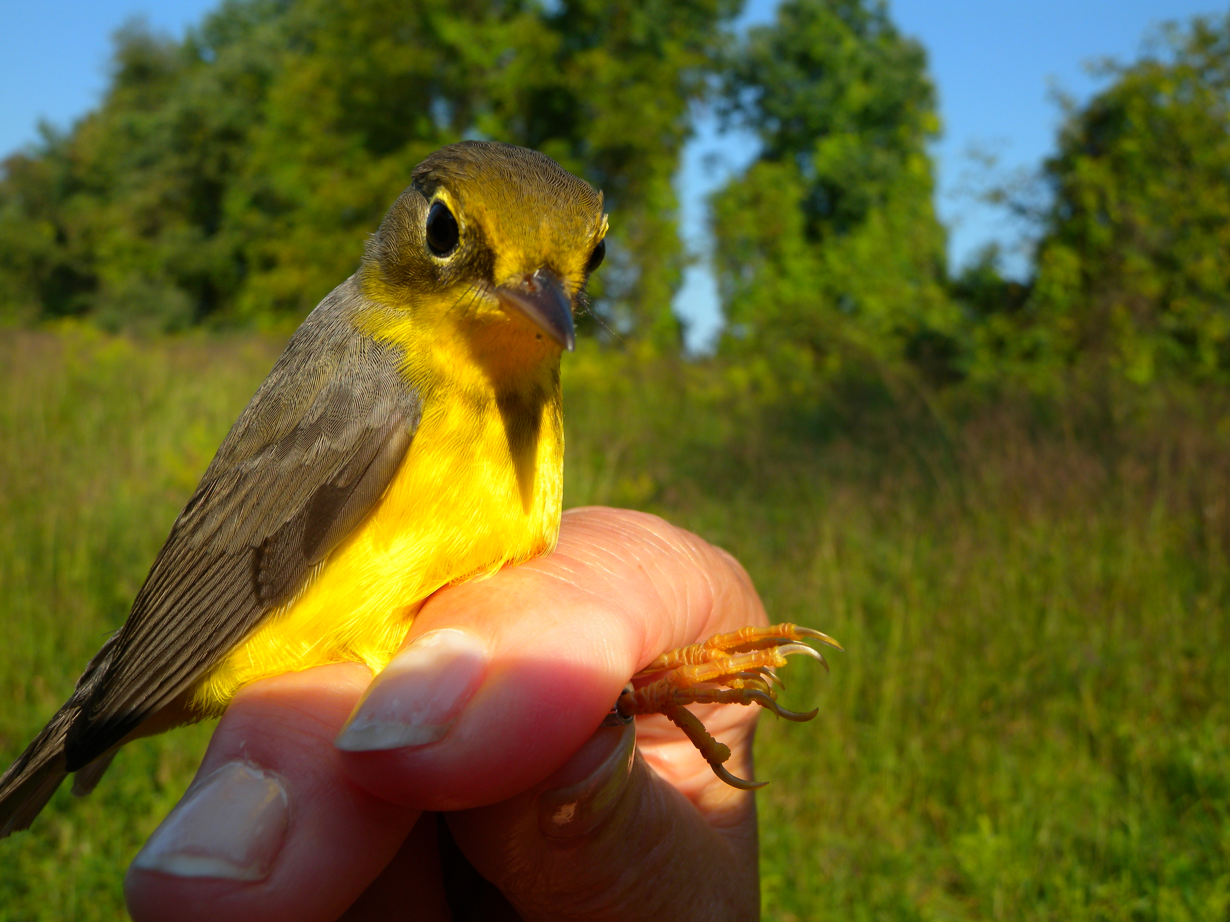 Young female Canada Warbler.  Photo by Blake Goll
