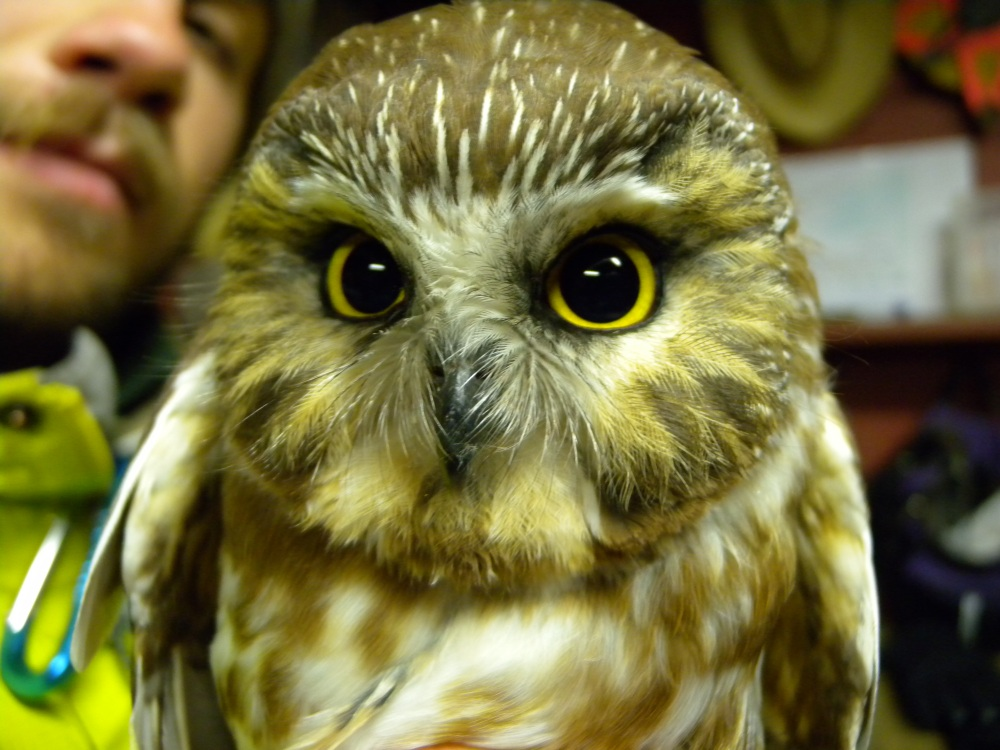 Young Northern Saw-whet Owl.  Photo by Blake Goll.