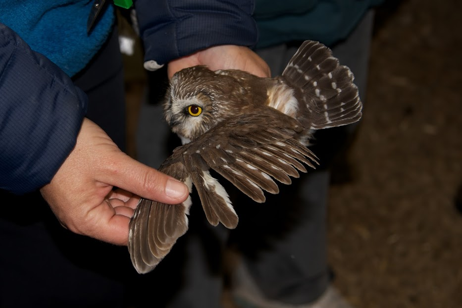 Northern Saw-whet Owl.  Photo by Matt Kesling