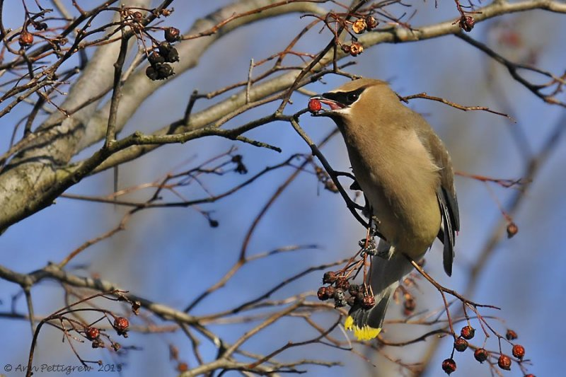 Cedar Waxwing eating Hawthorn berry.  Photo by Ann Pettigrew