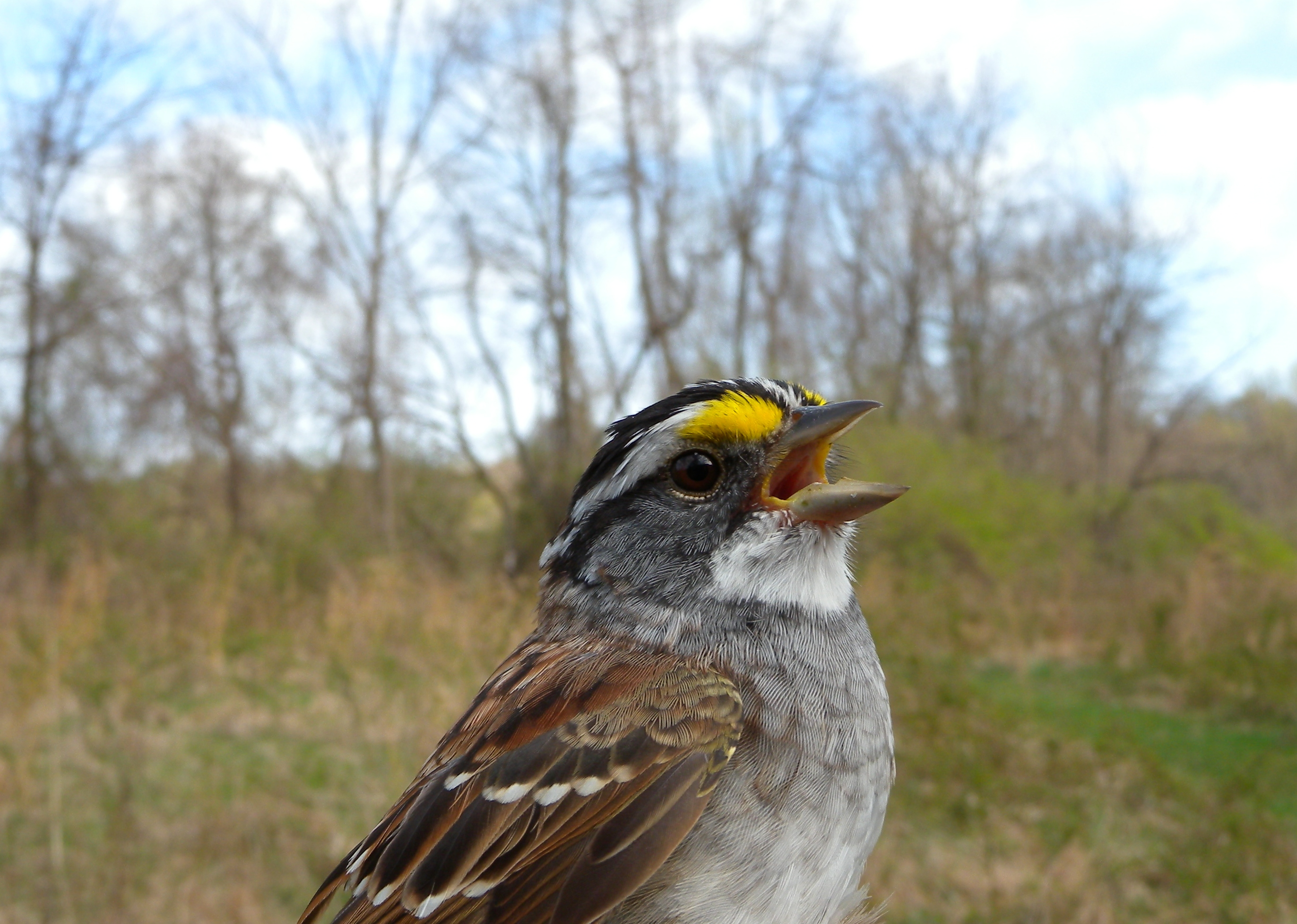 White-throated Sparrow singing.  Photo by Blake Goll