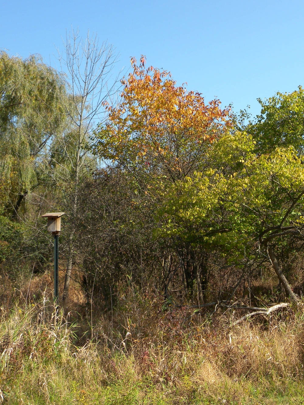 Successional Shrub Habitat at Ashbridge Preserve.