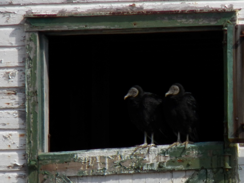 Black Vultures nesting in old barn.  Photo by Fred de Long.