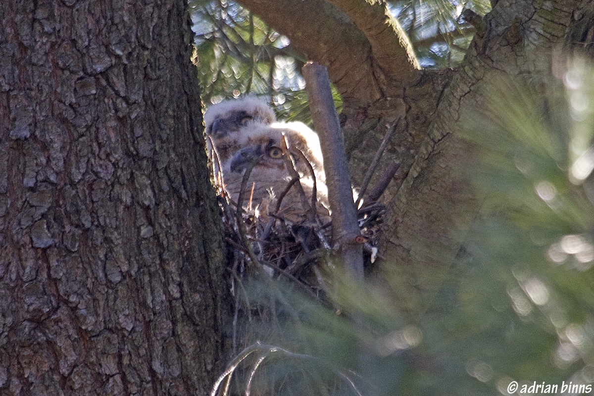 Great Horned Owl chicks in Villanova.  Photo by Adrian Binns