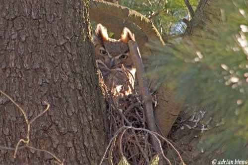Great Horned Owl mama in Villanova.  Photo by Adrian Binns.