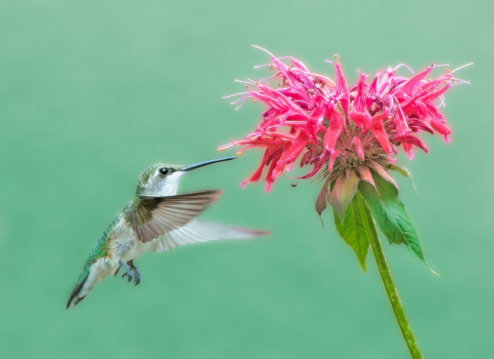 Ruby-throated Hummingbird.  Photo by Steven Kersting