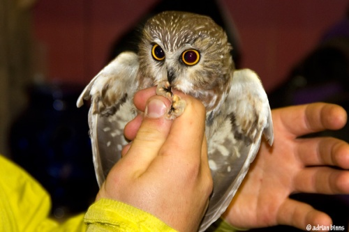 Saw-whet Owl.  Photo by Adrian Binns.