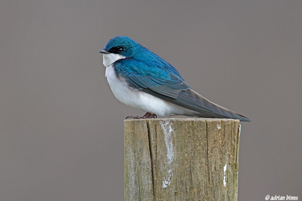 Tree Swallow.  Photo by Adrian Binns.