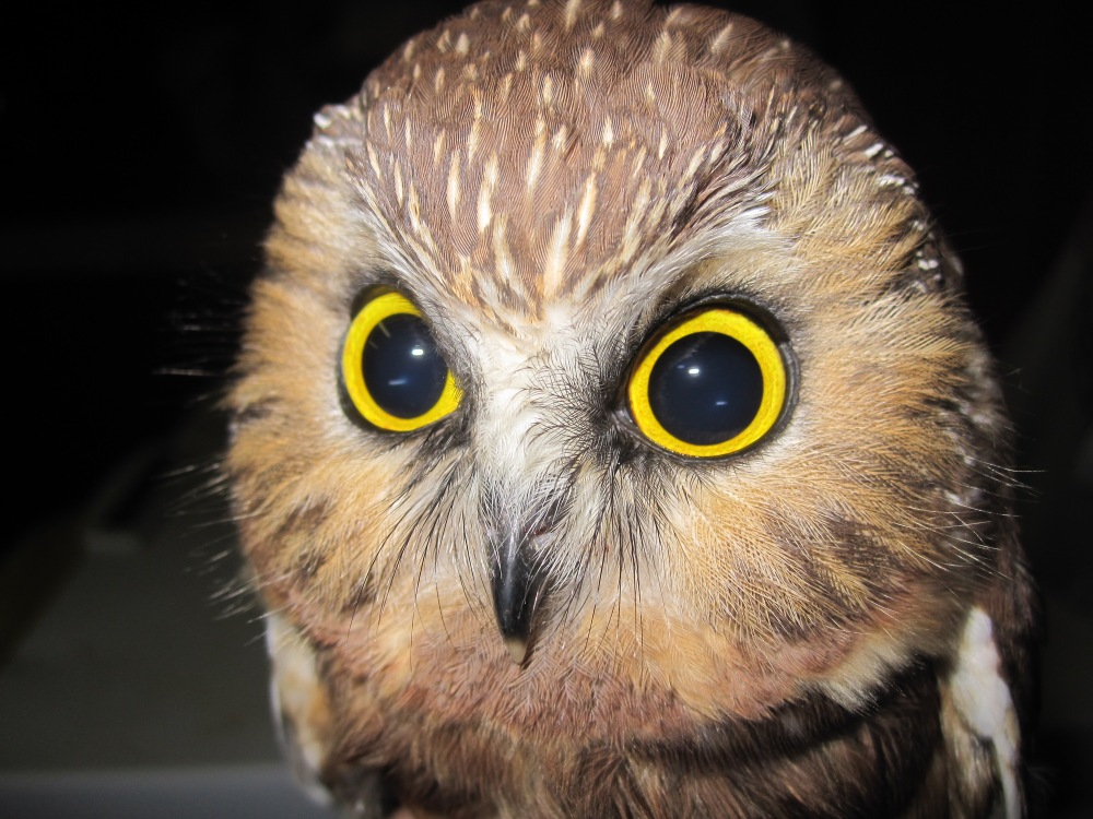 Very young Saw-whet Owl with juvenile coloring.  Photo by Blake Goll.