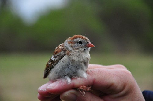 Field Sparrow.  Photo by Justin Thompson