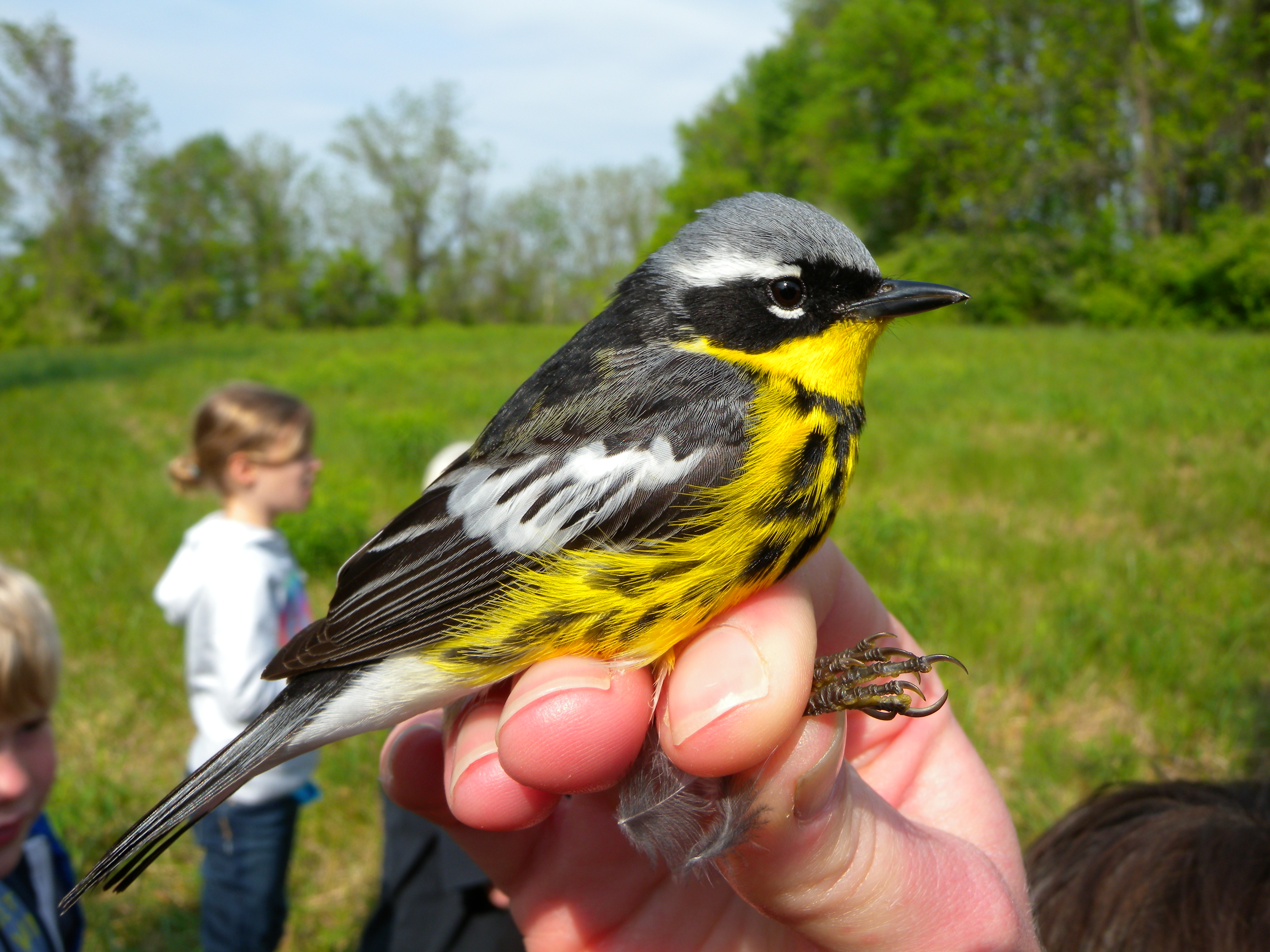 Adult male Magnolia Warbler.  Photo by Blake Goll.